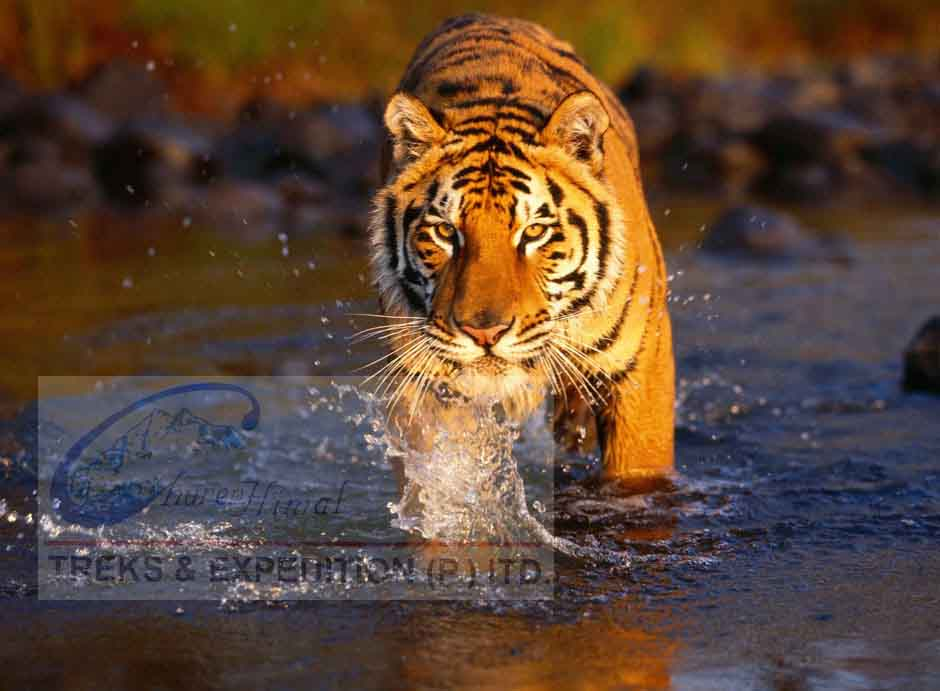 royal-chitwan-national-park-tiger.jpg